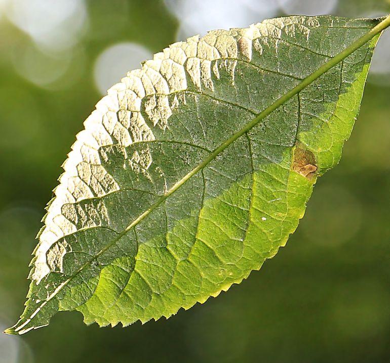 Baumkrankheit Baumblatt